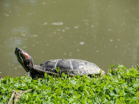 Edith J. Carrier Arboretum: One of the many turtles