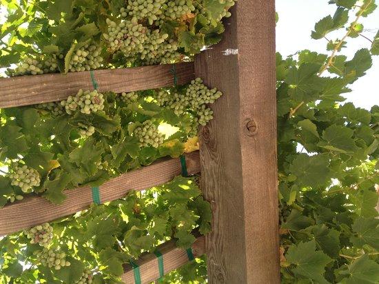 Pear Valley Vineyard: Grapes!
