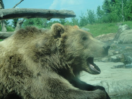 Brown Bear at the Minnesota Zoo