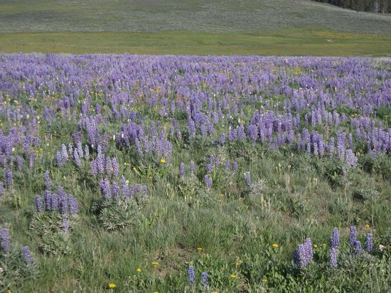 Fields of Lupine and other mountain wildflowers near Bear Lodge Resort in July 2013