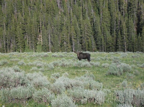 Bear Lodge Resort: Bull moose in velvet behind Bear Lodge in July 2013
