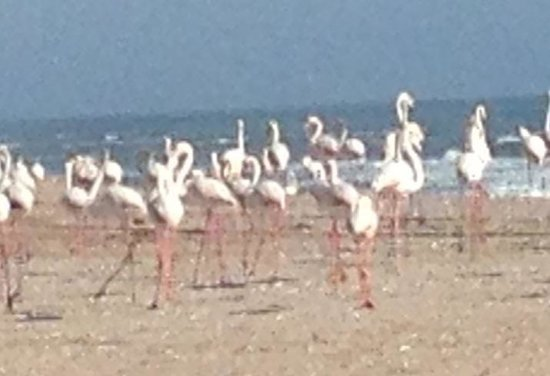 African Pride Burning Shore : Flamingos on the beach.