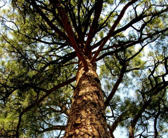 Bandelier National Monument: Looking up at a huge Ponderosa Pine Tree.