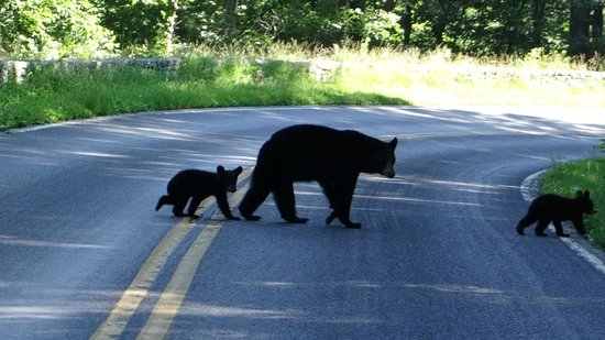 Big Meadows Lodge: Mama and baby bears we saw when driving Skyline Drive