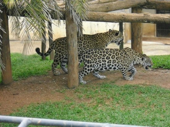 Jardim Zoologico De Brasilia: Onças