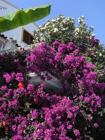 Stevens on the Hill: Bougainvillea