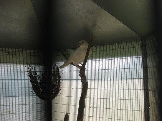 San Sebastiano da Po, Olaszország: corvo albino