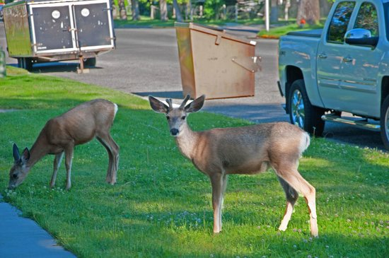 Buffalo Bill's Antlers Inn: Yearling Mule Deer in the Parking Lot