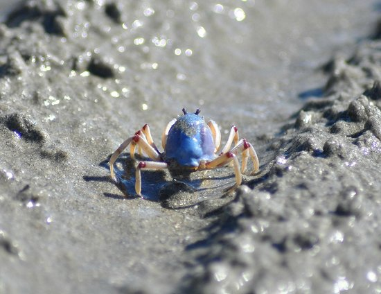 Port Douglas Plantation Resort: Awesome soldier crab on For Mile Beach