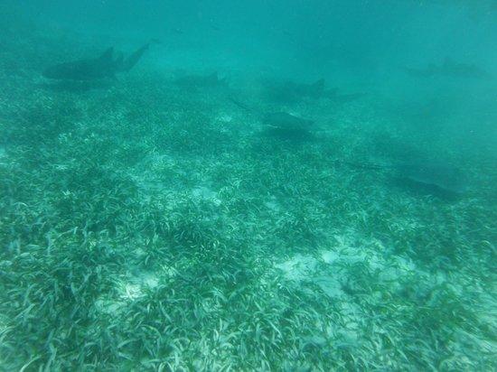 t Belize Boutique Resort & Spa : snorkling shark alley