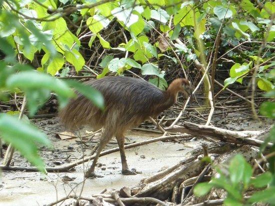 Cockatoo Hill Retreat: Cassowary chick