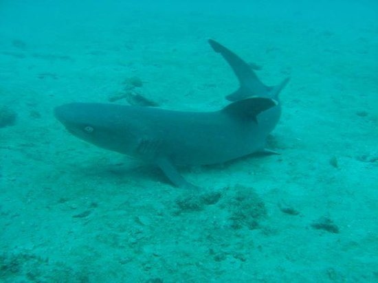 Mad About Diving: requin
