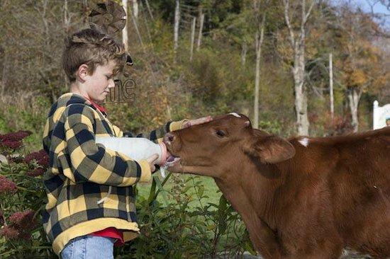Liberty Hill Farm Inn: Feeding the calf