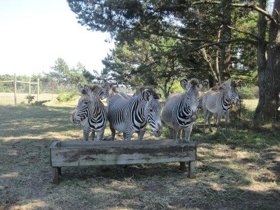 B Bryan Preserve: Grevy Zebra