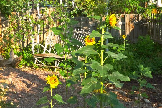 3 Dogs & A Moose: Sunflowers in the early morning sun - gardens were gorgeous