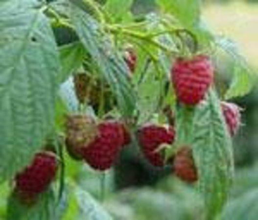 Fruitlands Bed and Breakfast: Fruitlands UPick raspberries