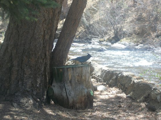 River Spruce: a blue jay
