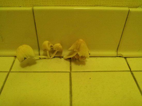 Econo Lodge Inn & Suites: mushrooms growing in bathroom