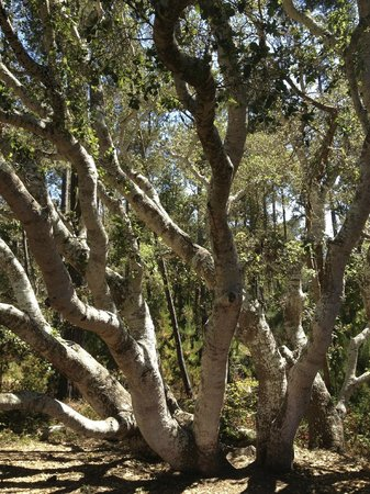 Fiscalini Ranch Preserve: Interesting Old Tree in The Forest Area