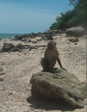 Siam Pearl Cruises : Monkey on island