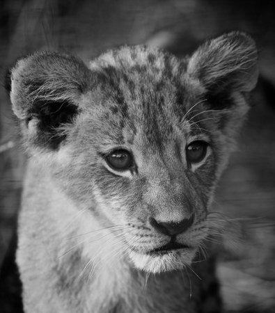 Tshukudu Game Lodge: The next lionking