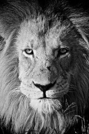 Tshukudu Game Lodge: Lionking