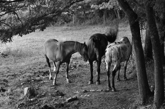 Agriturismo Il Cornacchino: alcuni dei cavalli del cornacchino