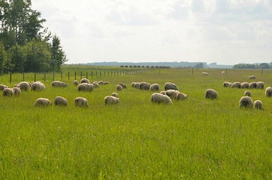 Kiskatinaw Bridge: the herd of sheep we saw on our drive back