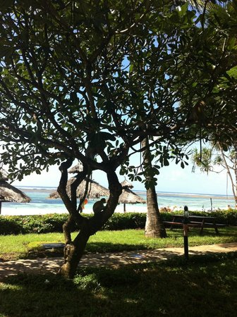 Southern Palms Beach Resort: Monkeys in the tree, view from the snack bar onto the beach