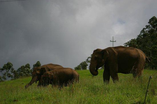 Ambady Estate: Wild elephants family