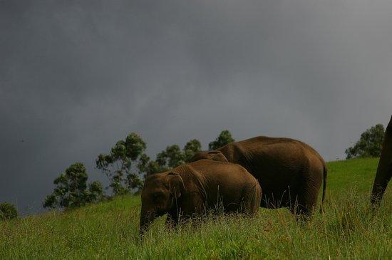 Ambady Estate: Meet wild elephants in Munnar