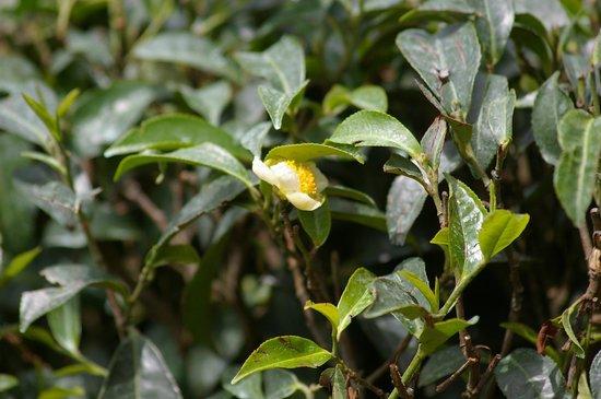 Ambady Estate: Tea flower