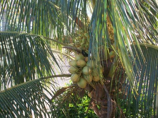 Travel Around Jamaica - Day Tours: Coconut Tree