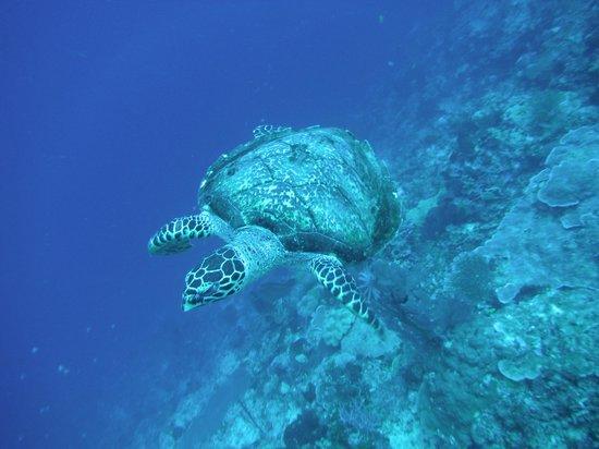 Bastianos Bunaken Dive Resort : tartaruga ...