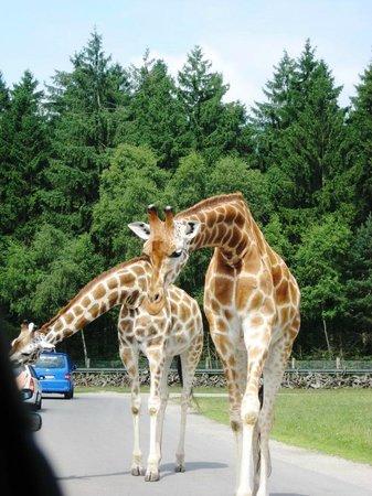 Serengeti-Park Hodenhagen: Neugierige Giraffen
