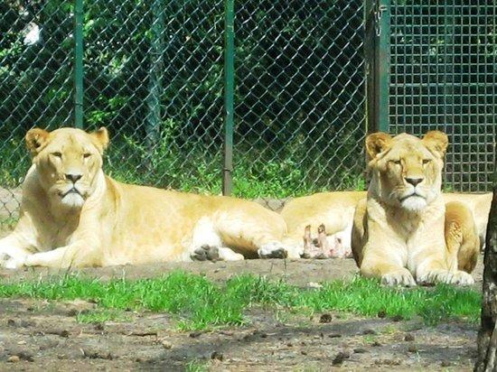 Serengeti-Park Hodenhagen: Löwen in freier Wildbahn