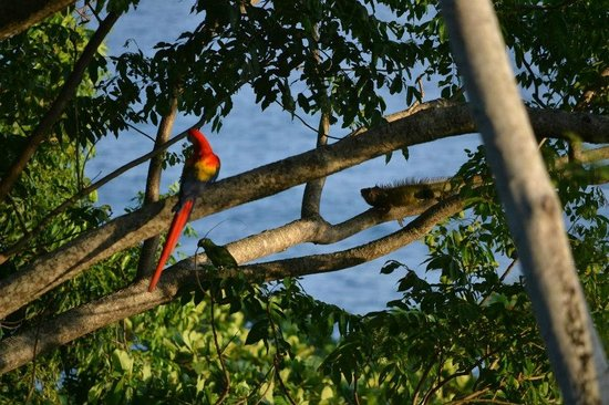 Lookout Inn Lodge: Scarlet Macaw, green parrot, and an iguana on the property