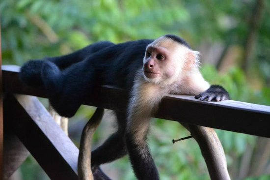Lookout Inn Lodge: Monkey visitor