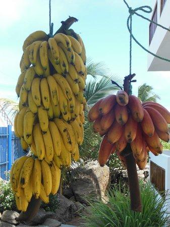 Casa Iguana Mar y Sol: Pick a fresh banana or two!