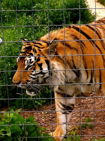 Wisconsin Big Cat Rescue: Up close & personal
