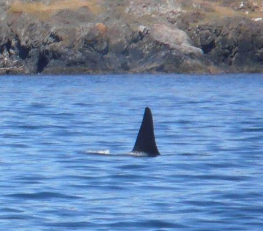 San Juan Excursions: Orca off the waters of San Juan Island