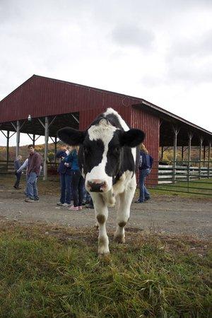 Farm Sanctuary : Friendly cows