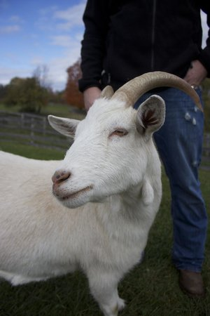Farm Sanctuary: Goat