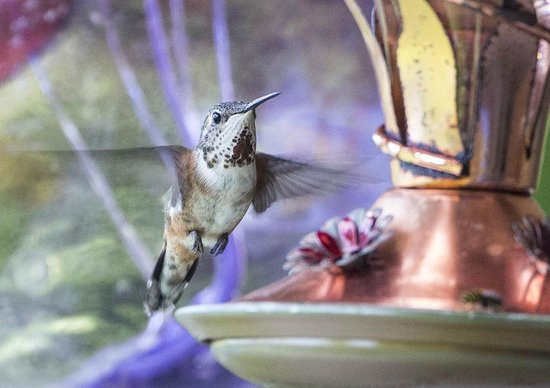 Reef Point Oceanfront B&B: Hummingbirds just outside our patio door.