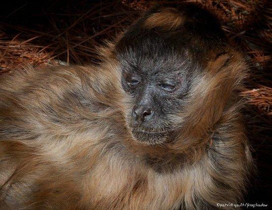 Emerald Coast Wildlife Refuge Zoological Park: Sebo, Spider Monkey