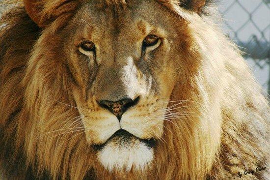 Emerald Coast Wildlife Refuge Zoological Park: Levi, African Lion