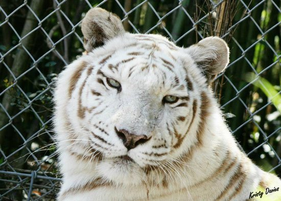 Emerald Coast Wildlife Refuge Zoological Park: Kahlua, Bengal Tiger