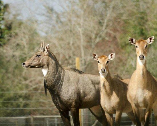 Emerald Coast Wildlife Refuge Zoological Park: Nilgai Antelope