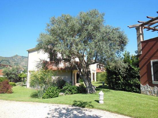 Alcantara Resort: Uralte Olivenbäume
