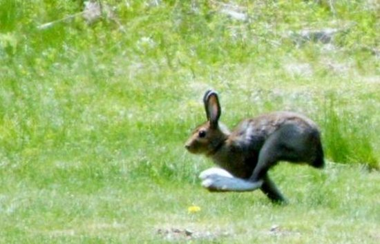 Tree Top Lodge of Idaho Bed and Breakfast: Running Rabbit (seen from patio)